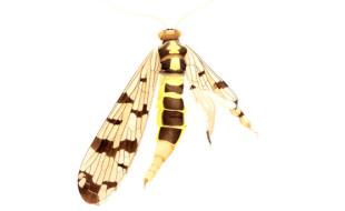Skorpionsfliege, Cornelia Hesse-Honegger, Aquarell, 1988 q